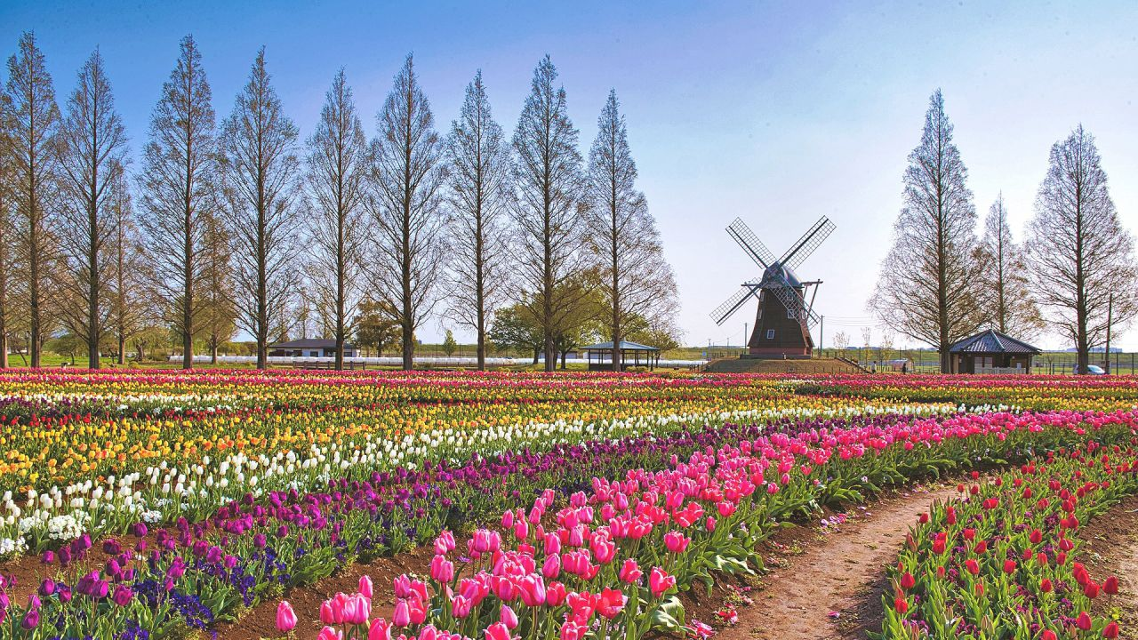 https://www.aroma-life.happy-clovers.com/wp-content/uploads/2020/09/TulipWindmill2MV1280.jpg